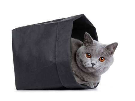 Sweet young adult solid blue British Shorthair cat kitten laying in black paper bag, looking at lens with orange eyes, isolated on white background Stockfoto