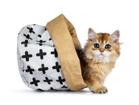 Excellent golden British Shorthair cat kitten standing half way out of a paper bag, looking at lens with big green eyes, isolated on white background