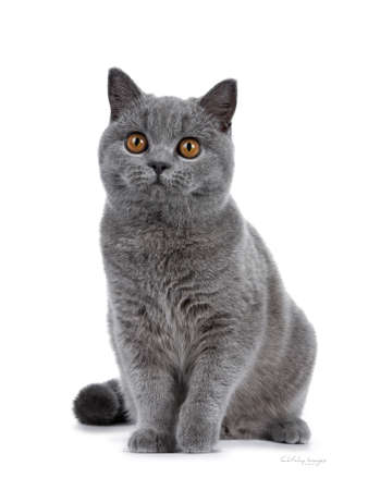 Handsome young solid blue British Shorthair cat sitting facing front, looking at camera with orange eyes, isolated on white background