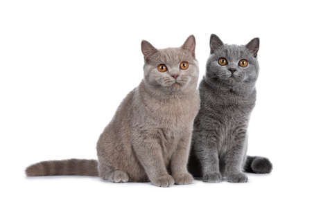 Gorgeous set of young adult cinnamon and blue British Shorthair cats sitting together, isolated on white background