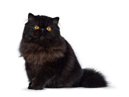 Excellent deep black Persian cat kitten sitting side ways looking at camera with big round eyes and one paw lifted, isolated on white background