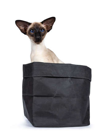 Excellent seal point Siamese cat kitten sitting sitting sideways in black paper bag looking at camera with deep blue eyes, isolated on white background Stock Photo