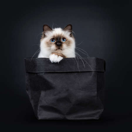Adorable excellent seal point Sacred Birman cat kitten in black paper back with one paw on edge and looking to lense, isolated on black background Stockfoto