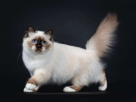Adorable excellent seal point Sacred Birman cat kitten walking side ways with tail fierce in the air, looking at camera isolated on black background