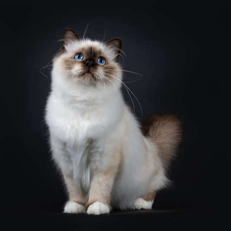 Adorable excellent seal point Sacred Birman cat kitten standing  sitting front view looking up, isolated on black background