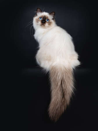 Adorable excellent seal point Sacred Birman cat kitten sitting backwards, looking a bit up over shoulder to camera isolated on black background white tail hanging down from edge Stockfoto