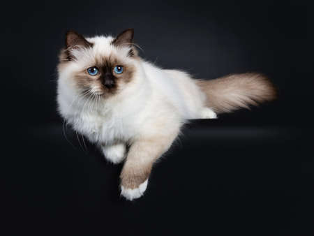Adorable excellent seal point Sacred Birman cat kitten laying down side ways, looking beside camera isolated on white background with paws hanging down from edge Stockfoto