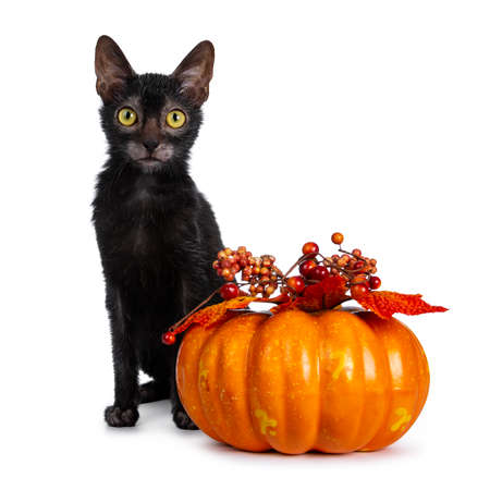 Young adult black Lykoi cat kitten sitting beside an orange pumpkin looking straight into camera with yellow eyes, isolated on white backgroud