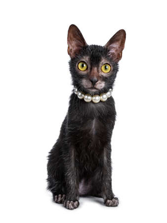 Adorable black Lykoi cat kitten sitting in front of her face wearing pearls  a pearl necklace looking straight at lense with bright yellow eyes, isolated on white background