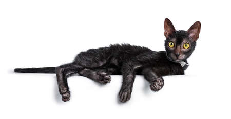 Adorable black Lykoi cat kitten girl laying side ways wearing a black with diamonds bow tie  necklace looking straight at lense with bright yellow eyes, isolated on white background