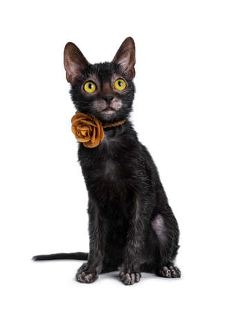 Adorable black Lykoi cat kitten sitting in front of a pink leather flower, looking up with bright yellow eyes, isolated on white background
