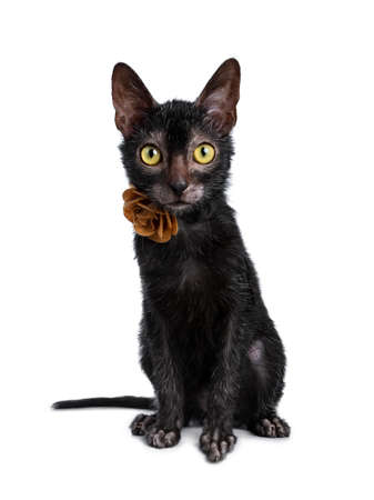 Adorable black Lykoi cat sitting in front of a kitten wearing a pink leather flower  rose necklace looking at camera with bright yellow eyes, isolated on white background