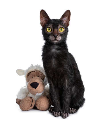Adorable black Lykoi cat kitten sitting next to a faux fur wolf dressed in sheep clothing looking at camera with bright yellow eyes, isolated on white background Stockfoto