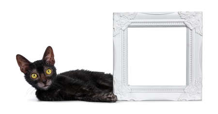 Adorable black Lykoi cat kitten girl laying beside white empty photo frame looking straight into lens with bright yellow eyes, isolated on white background