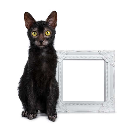 Adorable black Lykoi cat kitten sitting next to white empty photo frame looking at camera with bright yellow eyes, isolated on white background