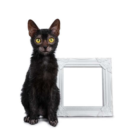 Adorable black Lykoi cat kitten sitting next to empty white photo frame looking at lens with bright yellow eyes, isolated on white background