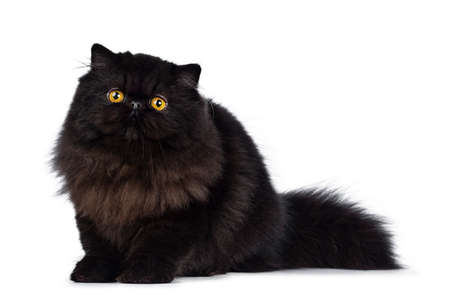 Excellent deep black Persian cat kitten sitting side ways looking at camera with big round eyes, isolated on white background
