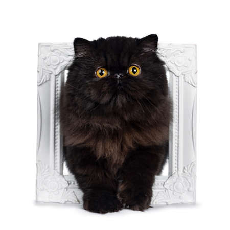 Excellent deep black Persian cat kitten standing through a white picture looking at lens with big round eyes, isolated on white background