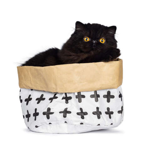 Excellent deep black Persian cat sitting in a paper bag looking at lens with big round eyes, isolated on white background