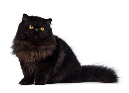 Excellent deep black Persian cat sitting on her side looking up with big round eyes, isolated on white background
