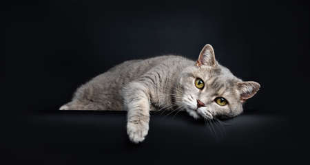 Wise looking senior british shorthair cat laying down very lazy with paw over edge, looking at camera, isolated on black background