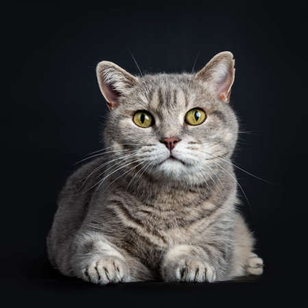 Wise looking senior British Shorthair cat, laying down front view, looking straight at camera, isolated on black background Stockfoto