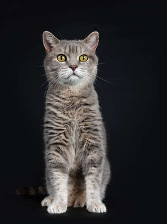 Wise looking senior British Shorthair cat, sitting straight up front view, looking at camera, isolated on black background