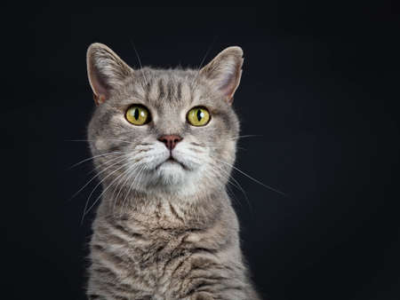 Head shot of wise looking senior British Shorthair cat sitting and looking beside lens isolated on black background