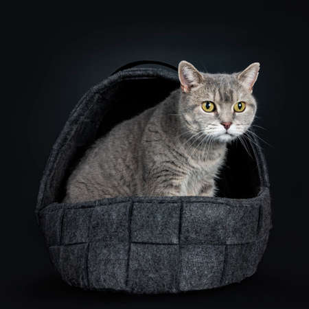 Wise looking senior British Shorthair cat, sitting side ways in black woolen basket, looking to the side isolated on black background