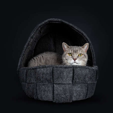Wise looking senior British Shorthair cat, laying in black woolen basket, looking at camera, isolated on black background