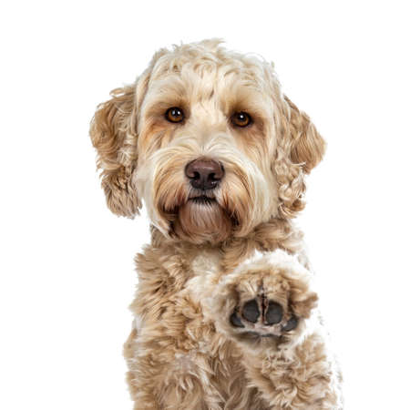 Head shot of pretty golden adult Labradoodle dog doing high five paw lifted in air looking straight into lense, isolated on white background 写真素材