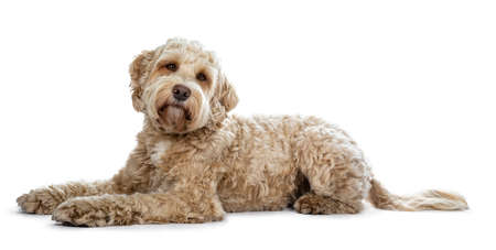 Pretty golden adult Labradoodle dog laying down side ways looking straight into lense with head tilt, isolated on white background Banco de Imagens