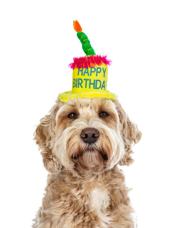 Head shot of pretty golden adult labradoodle dog wearing a happy birthday cake hat looking straight into lense, isolated on white background