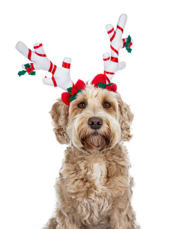 Head shot of pretty golden adult Labradoodle dog wearing a red reindeer antlers looking straight into lense, isolated on white background