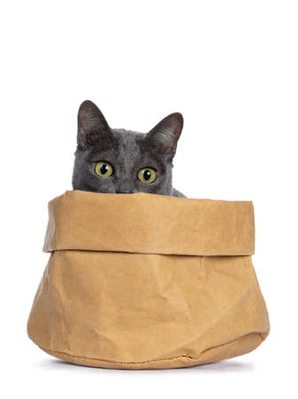 Silver tipped blue adult Korat cat sitting in brown paper bag and just looking focussed over edge below camera with green eyes, isolated on white background Stockfoto