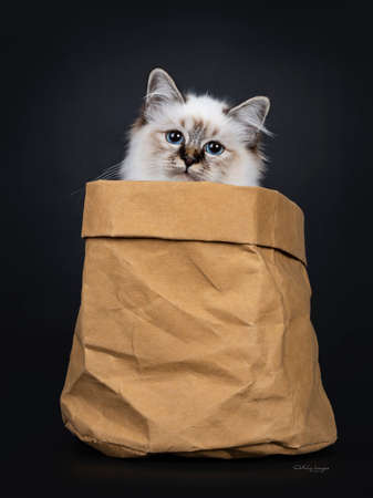 Stunning tabby point Sacred Birman cat kitten sitting in brown paper bag looking over edge straight into camera lens with mesmerizing blue eyes, isolated on black background