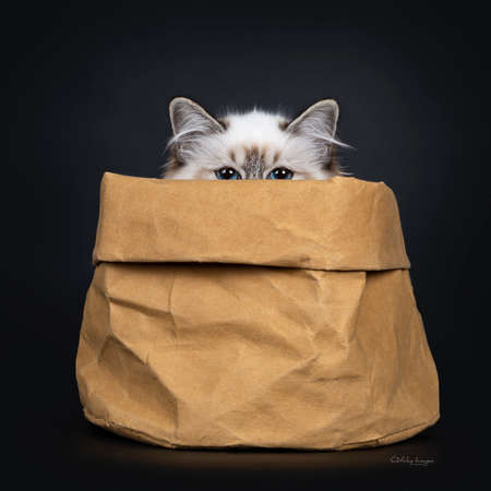 Stunning tabby point Sacred Birman cat kitten sitting in brown paper bag looking just over edge straight into camera lens with mesmerizing blue eyes, isolated on black background