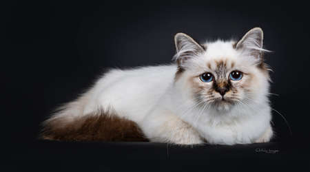 Stunning tabby point Sacred Birman cat kitten laying down side ways and looking curious into lens with marvelous blue eyes, isolated on black background