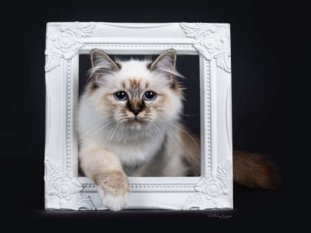 Stunning tabby point Sacred Birman cat kitten stepping through a white photo frame and looking proudly into camera lens with mesmerizing blue eyes, isolated on black background