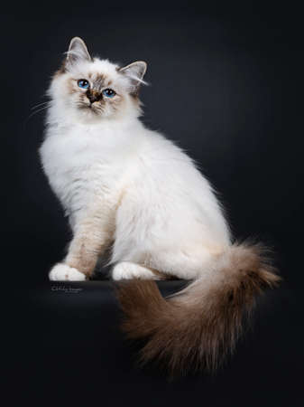 Stunning tabby point Sacred Birman cat kitten sitting side ways with tail hanging down over edge and looking proudly at camera lens with mesmerizing blue eyes, isolated on black background