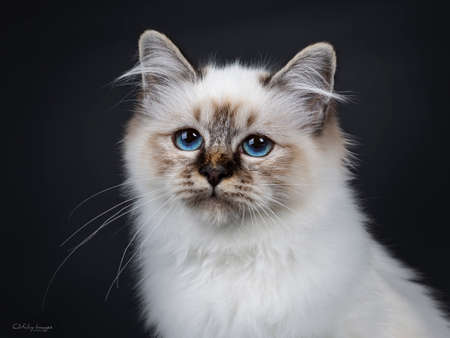 Head shot or stunning tabby point Sacred Birman cat kitten beside camera lens with mesmerizing blue eyes, isolated on black background