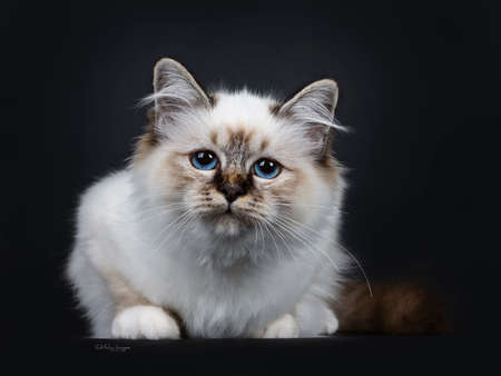Stunning tabby point Sacred Birman cat kitten laying down and looking curious into lens with marvelous blue eyes, isolated on black background