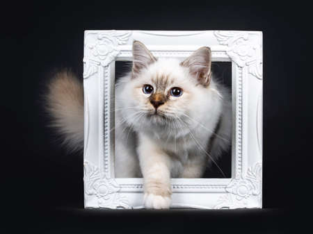 Beautiful tabby point in front of Sacred Birman cat kitten stepping through white frame looking to the side, isolated on black background Stockfoto