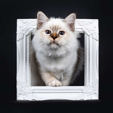Beautiful tabby point Sacred Birman cat kitten standing with a white paw through a white picture frame looking curious, isolated on black background Stockfoto