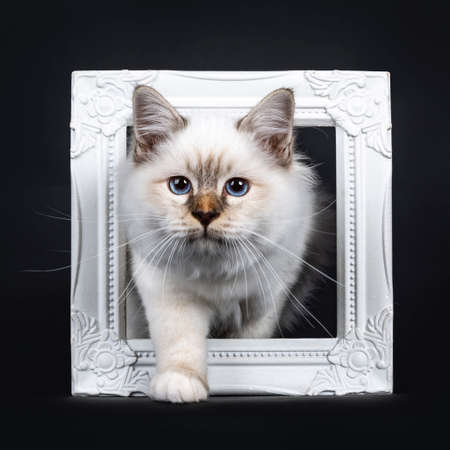 Beautiful tabby point Sacred Birman cat kitten looking down at camera, isolated on black background