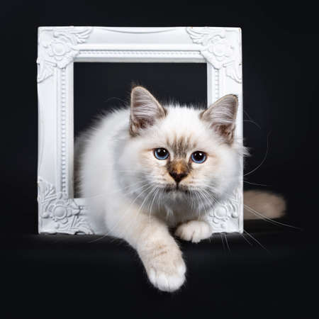 Beautiful tabby point Sacred Birman cat kitten standing with two white paws through a white picture frame looking at lens, isolated on black background