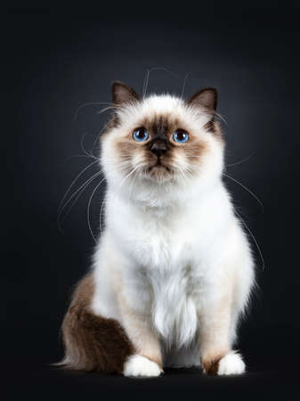 Excellent seal point Sacred Birman cat kitten with white paws sitting with tail around body and looking up with blue eyes, isolated on black background