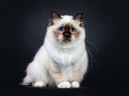 Excellent seal point Sacred Birman cat kitten with perfect white paws sitting  side ways and looking ahead with blue eyes, isolated on black background