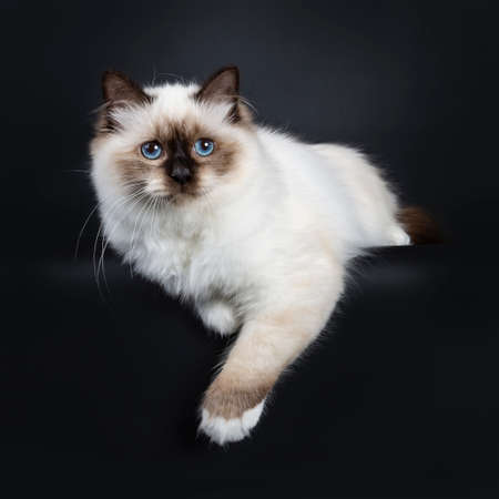 Excellent seal point Sacred Birman cat kitten with perfect white paws slaying with paws hanging over edge looking beside lens with blue eyes, isolated on black background