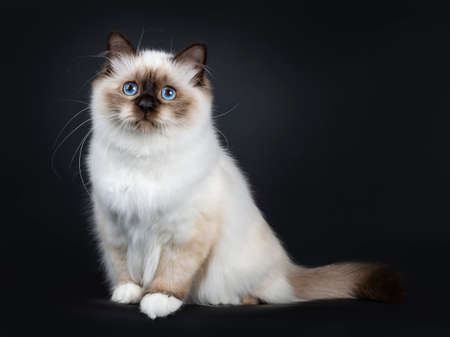 Excellent seal point Sacred Birman cat kitten with perfect white paws sitting side ways with tail
